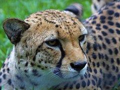 Do Zoo Praha dorazili noví gepardi.