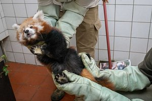 V Zoo Praha určili při veterinární prohlídce pohlaví pandy červené.