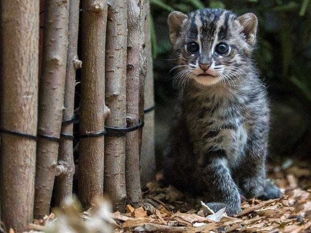 V Zoo Praha se letos v říjnu historicky poprvé narodilo mládě kočky rybářské.
