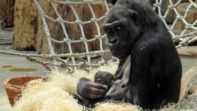 Gorila Kijivu porodila své páté mládě
