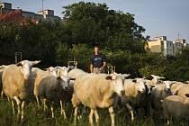Ovce spásají zeleň na Praze 12.
