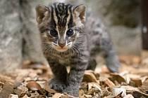 Dvě letošní koťata kočky rybářské jsou již kvidění ve své expozici