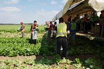 Pracovníci ukládají saláty do sáčků a rovnou je dávají na váhu a připravují do bedýnek