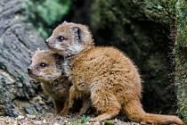 Dvě malé mangusty liščí v pražské zoologické zahradě.