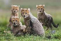 Čtveřice gepardích mláďat je velkou chloubou pražské zoo – a také nejviditelnějším symbolem jarního zahájení hlavní sezony, která má pořadové číslo 84. Na sobotu 28. března se po celý den chystá bohatý program