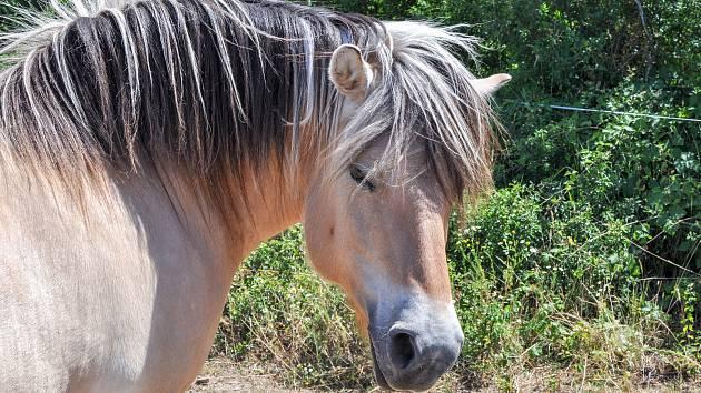 Hipoterapeutický fjordský kůň