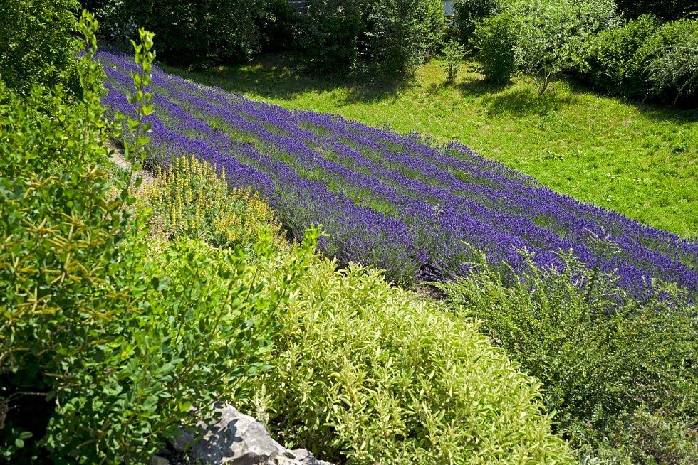 Levandulové pole v pražské botanické zahradě.