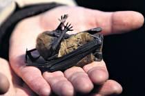 Pražská zvířecí záchranka se stará i o netopýry.