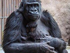 Gorila Shinda se svým narozeným mládětem v pražské zoologické zahradě.