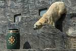Lední medvěd.