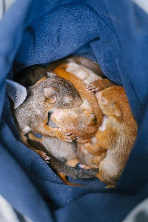Veverčí mláďata při odpočinku.