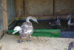 Labutí mládě ze Stromovky se zdeformovaným křídlem.