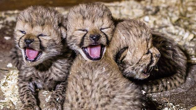 Čtyřčata gepardů se v pražské zoologické zahradě narodila 21. listopadu 2014.