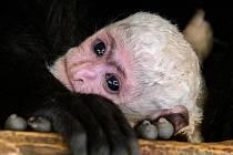 Mládě guerézy pláštíkové, které v sobotu na zahájení 88. sezóny Zoo Praha dostalo jméno Lopi, už není ve skupině nejmladší. Jeho místo zaujal tento benjamínek, který přišel na svět ve středu ráno.