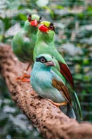 """Nejvzácnější a nejkrásnější """"straky"""": vpopředí jedno ze dvou mláďat, za ním oba dospělí ptáci"""
