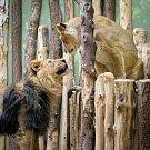 Druhé spojení lvů indických Sohana a Suchi už probíhalo bez problémů.