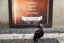 Ibis skalní v centru Prahy. Autentické foto z mobilního telefonu.
