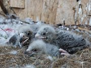 V Zoo Praha se daří odchovávat na hnízdě pod rodiči tři mláďata orla východního.