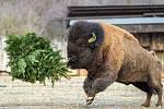 U bizonů bylo také veselo, větve a stromky létaly vzduchem po celém výběhu.