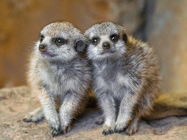 Mláďata surikat se narodila v říjnu letošního roku a daří se jim velmi dobře.