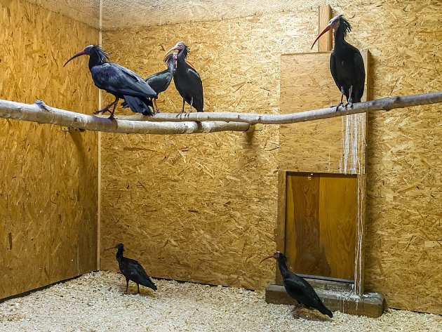 Zázemí odchycených ibisů skalních v pražské zoologické zahradě.