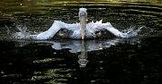 Tisíce lidí navštívili 6. července pražskou zoo. pelikán
