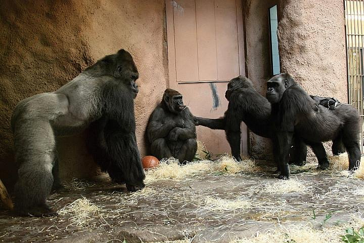 Bikira poprvé s pražskými gorilami.