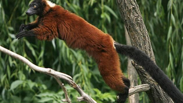 DO NOVÉHO SVĚTA. Prázdniny v zoo představí oba americké kontinenty. (Na snímku chápan, zástupce Střední Ameriky)