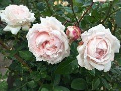 Pražská botanická zahrada věnuje růžím druhé zastavení vzdělávacího projektu Vonná stezka.