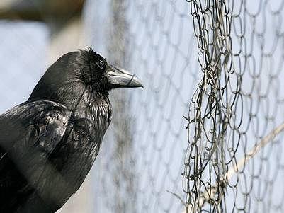 ZACHRÁNĚNÝ KRKAVEC. Ve stanici v Jinonicích ošetřují především ptáky, ale i jiná volně žijící zvířata.