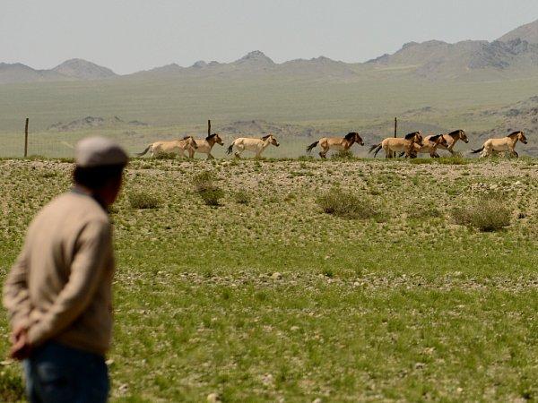 Stádo koní Převalského vyráží do volné přírody vpřísně střežené oblasti Gobi B vMongolsku.