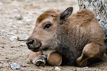 Zoo Praha - narození bizona