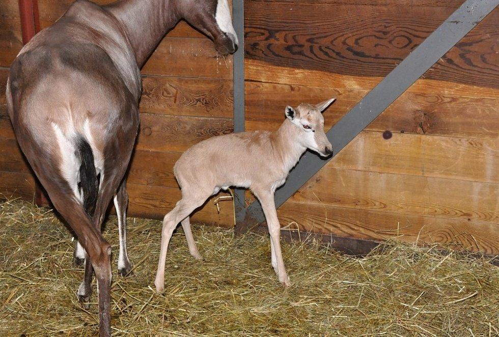 Malý buvolec ve stáji s matkou Rozmarýnou den po porodu.