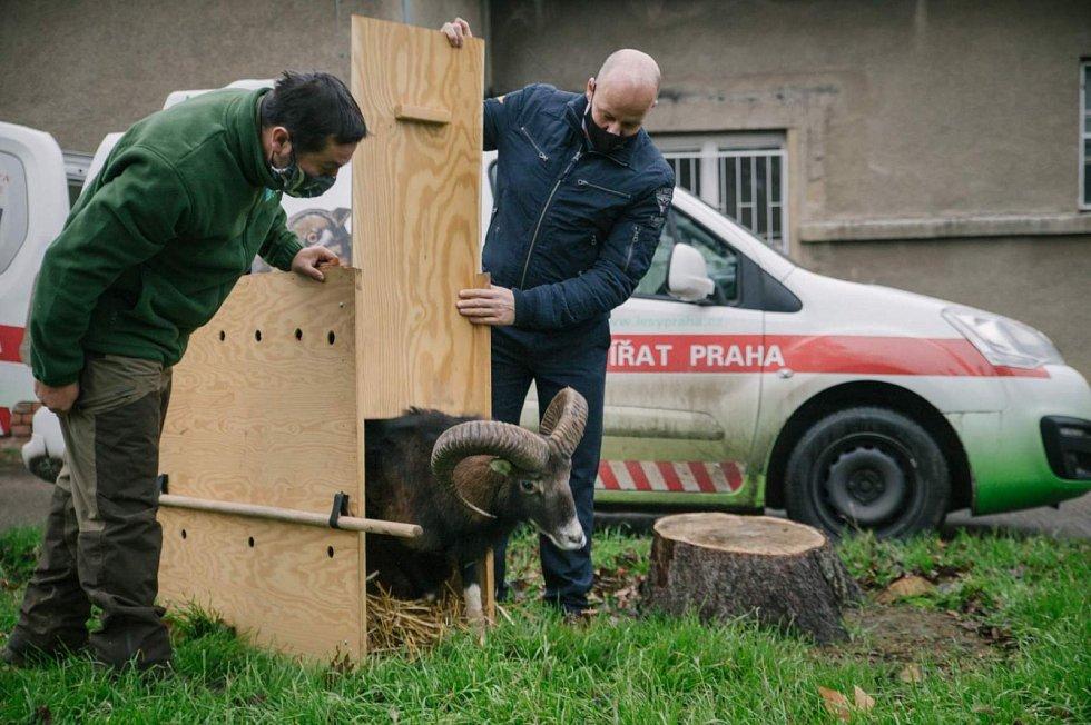Uzdravený muflon se vrátil ke svému stádu v areálu Thomayerovy nemocnice.