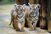 Samička Wanita (vlevo) je oproti bratrovi Bulanovi stále trochu drobnější, prospívá však velmi dobře.