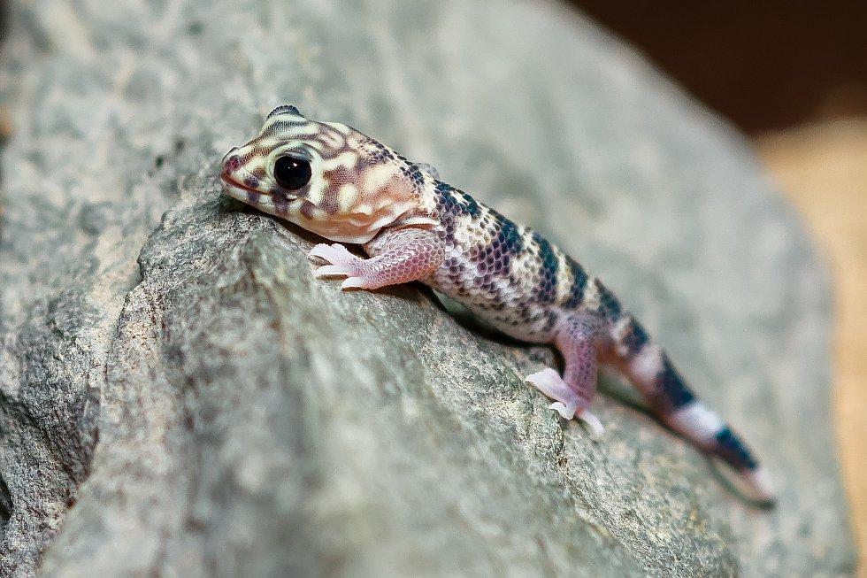 Mládě gekona zázračného.