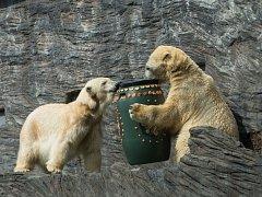 Lední medvědi.