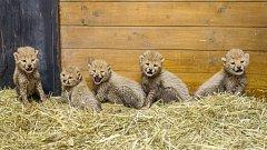 Mláďata gepardů v zoo Praha