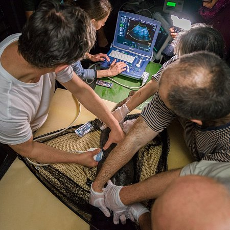 Thomas Hildebrandt je specialistou na ultrazvuk zvířat, vpražské zoo pomocí něho určoval pohlaví velemloků čínských.