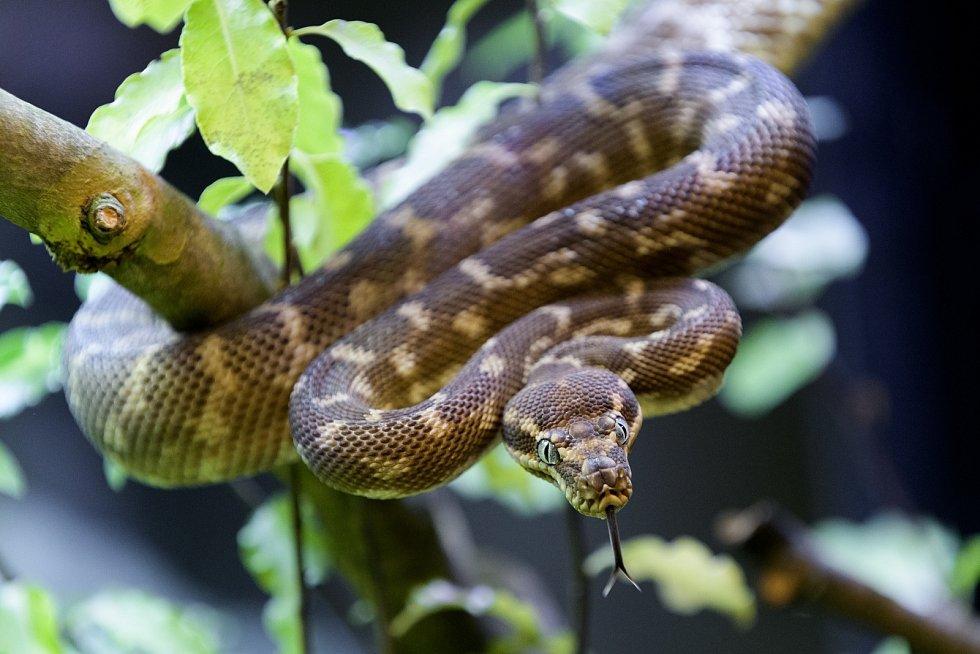 Krajta kýlnatá je velmi vzácný stromový had z malé oblasti v severozápadní Austrálii, do roku 2007 známý jen z 10 jedinců. Naše krajty jsou potomci rodičů zabavených pašerákům.