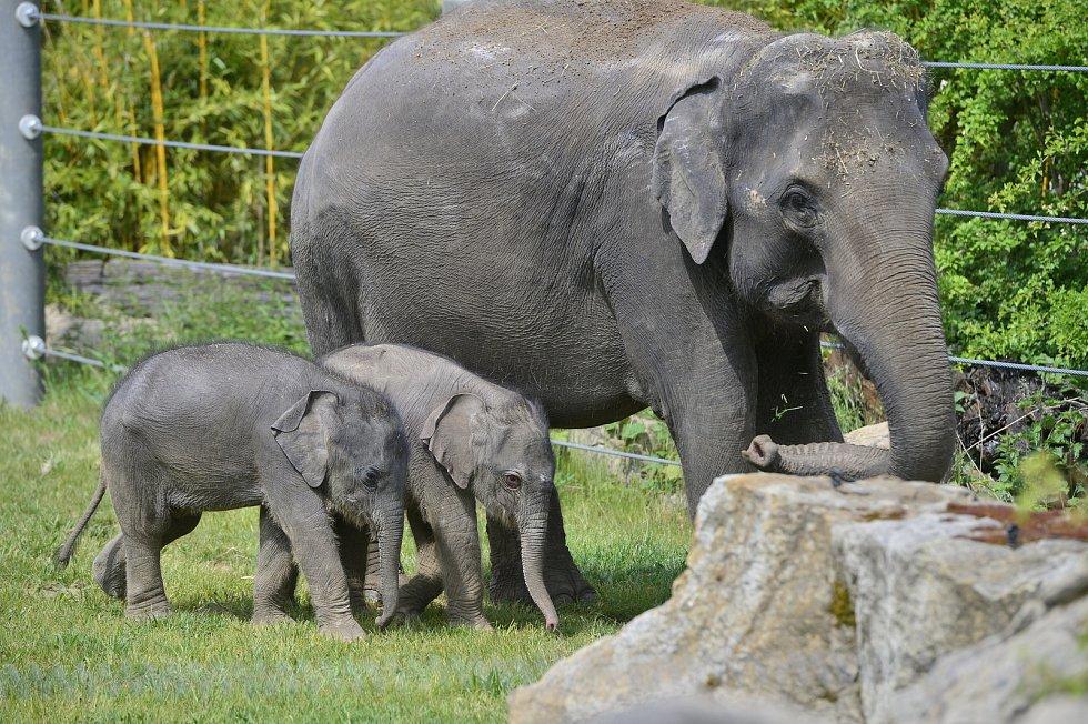 Slůňata z pražské zoologické zahrady, které se narodila jen pár týdnů po sobě, se společně se sloními matkami ukázala návštěvníkům ve venkovním výběhu.