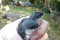 Mláďata jiřiček předčasně vyskočila z hnízda v důsledku veder.