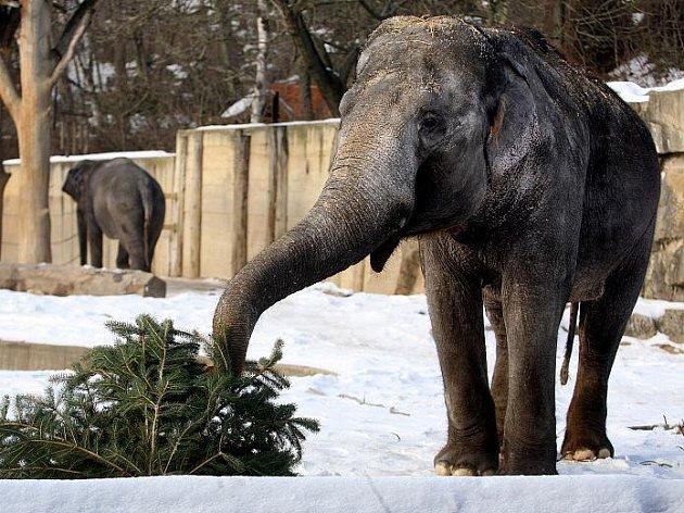 Krmení slonů stromky určenými k předvánočnímu prodeji proběhlo v pražské zoologické zahradě i 4. ledna.