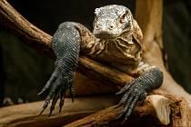 Mladý samec varana komodského vPavilonu velkých želv.