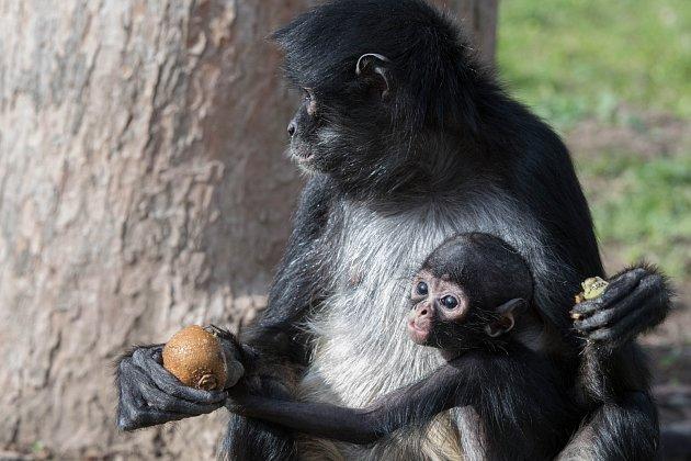 Jméno pro mládě chápana vybírá veřejnost na facebooku Zoo Praha.