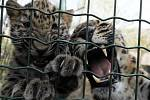 U levhartů, příprava krmení chovatelkou, Zoo Praha 3.dubna.