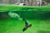 Lachtaní mládě poprvé ve venkovním bazénu.