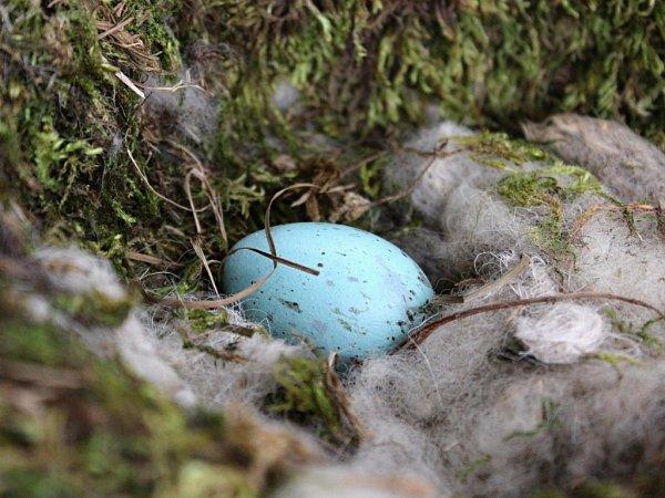 Samice krkavců velkých snášejí modrá vejce sčervenohnědým skvrněním, na kterých sedí tři týdny.