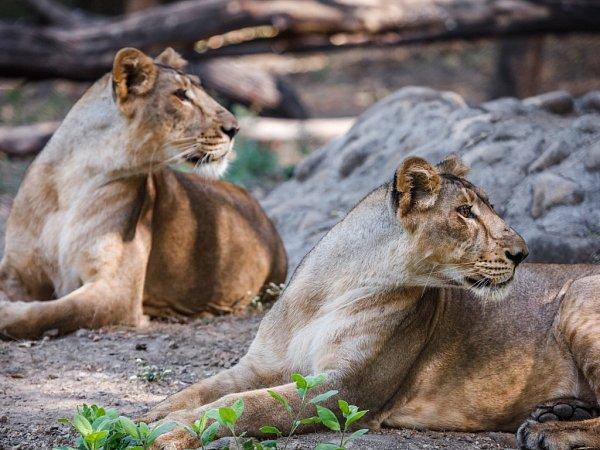 Samice lva indického, obě narozené na jaře roku 2012, se jmenují Gini a Jennifer.