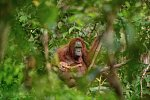 Fotografií roku 2018 a vítězem soutěže Czech Press Photo je snímek samice orangutana s umírajícím potomkem.